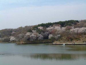 八丁湖の桜